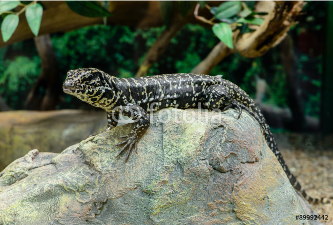 Golden Tegu (Tupinambis teguixin) rests on a stone in the Peruvi 64239
