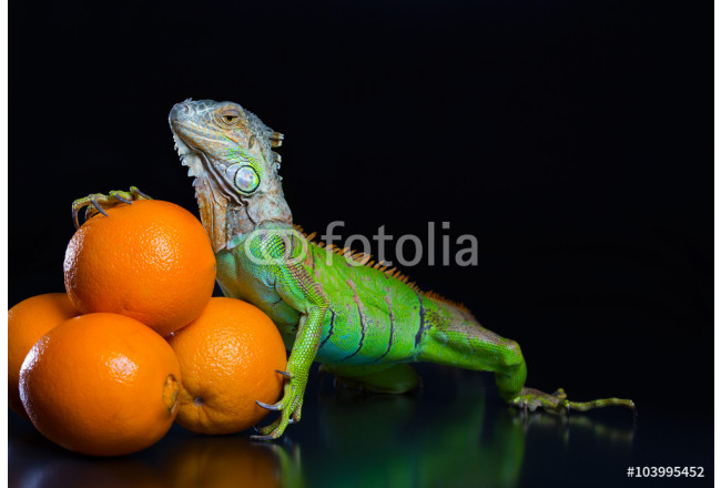 The green iguana and a pile of oranges on a black background 64239