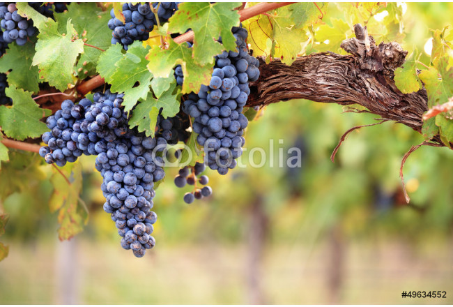 Red wine grapes on old vine 64239