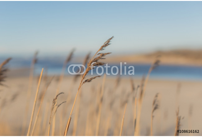 Reed Plants on the Beach 64239