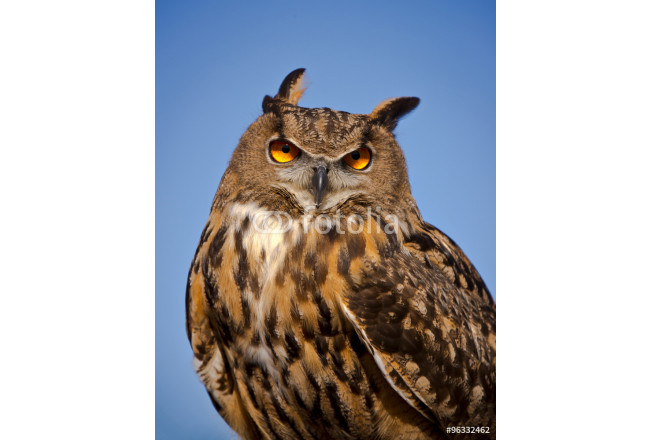 Eurasian Eagle Owl stares directly at the viewer 64239