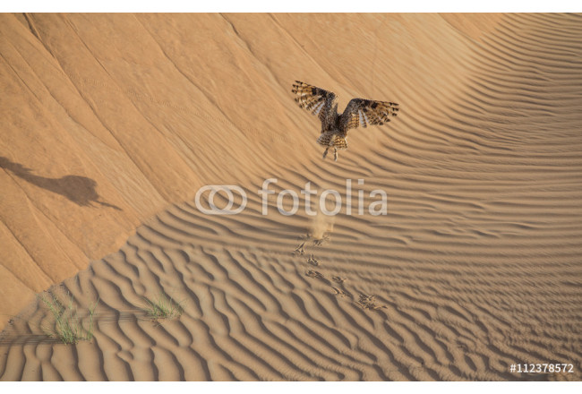 Desert eagle owl in a desert near Dubai, UAE 64239