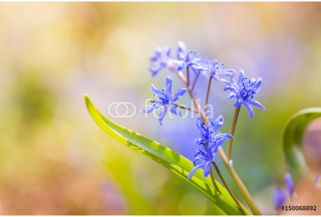 Blue Scilla on a multi-colored background. Flowers Blue Scilla in early spring in the rays of the setting sun. 64239