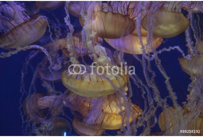 Pacific sea nettle jellyfish, Chrysaora fuscescens, is found along the coast of California and Oregon in the United States. 64239