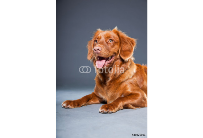 Beautiful and cute toller dog isolated on grey. 64239