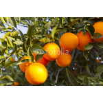 Valencia orange trees 64239