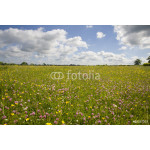 Tranquil field of blooming buttercups 64239