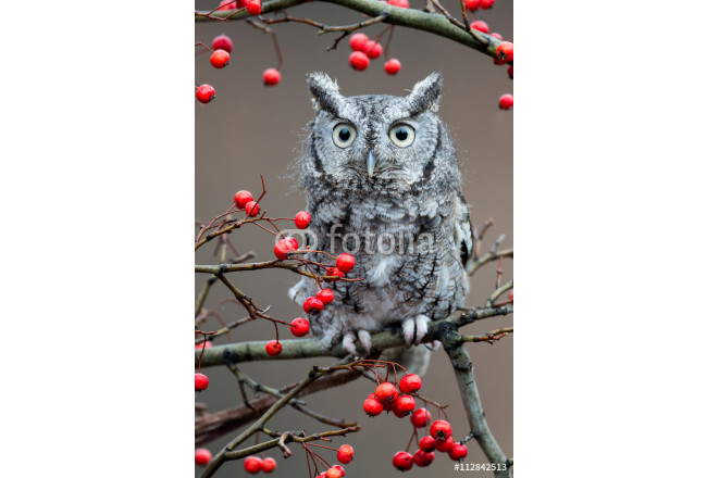 Art painting Adult (gray phase) Eastern Screech Owl (Megascops asio) is a small, nocturnal, woodland Owl 64239