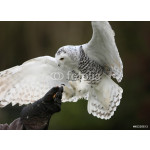 Close up of a Snowy Owl in flight 64239