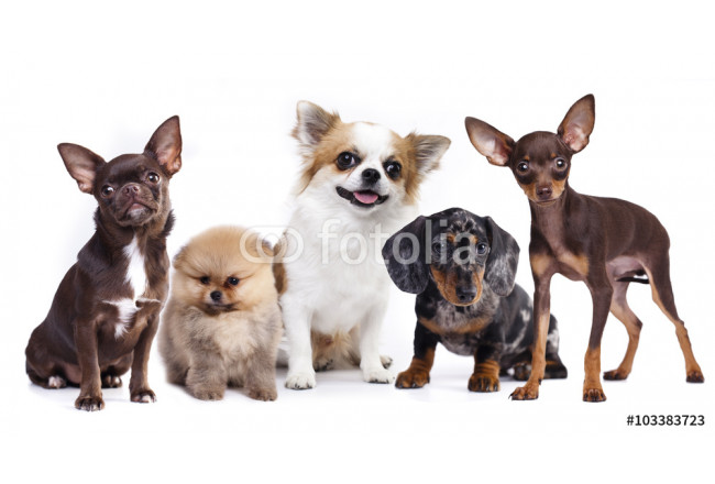 group of small decorative dog companions 64239
