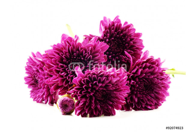 pink autumn chrysanthemum isolated on white background 64239