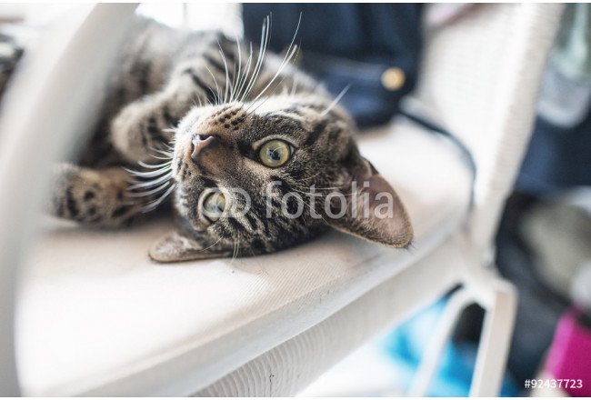 Playful lazy young tabby cat lying on his back on white chair. 64239