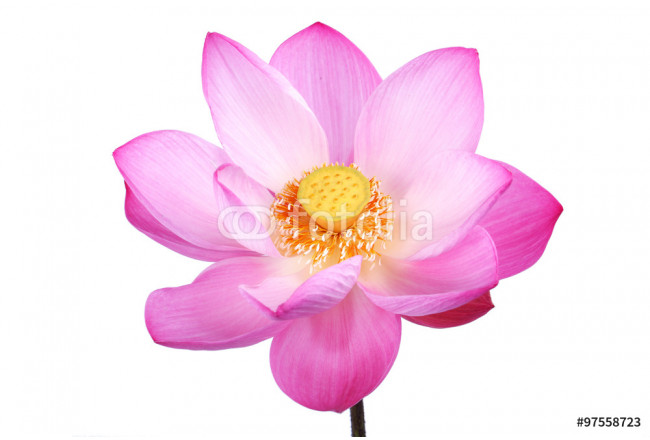 lotus flower isolated on white background. 64239