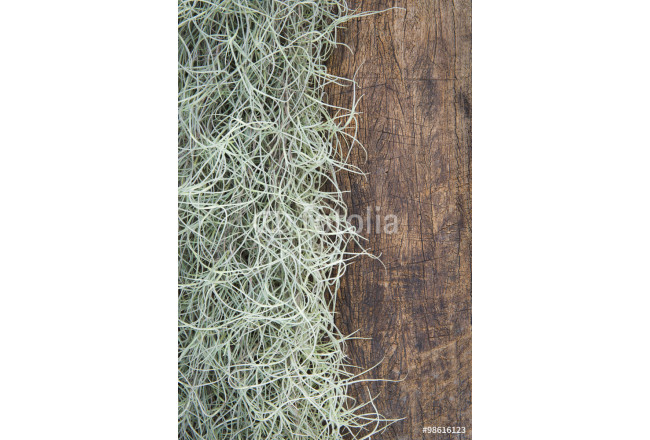 Painting Spanish Moss(Tillansia usenoides L.) on the wooden background. 64239