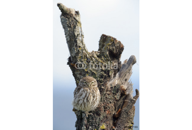 Little owl on a old tree. 64239