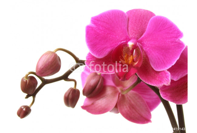 Orchid 64239