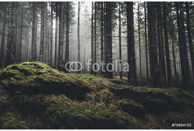 wilderness landscape forest with pine trees and moss on rocks 64239