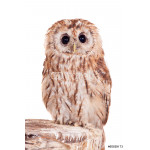Tawny or Brown Owl (Strix aluco) isolated on the white 64239