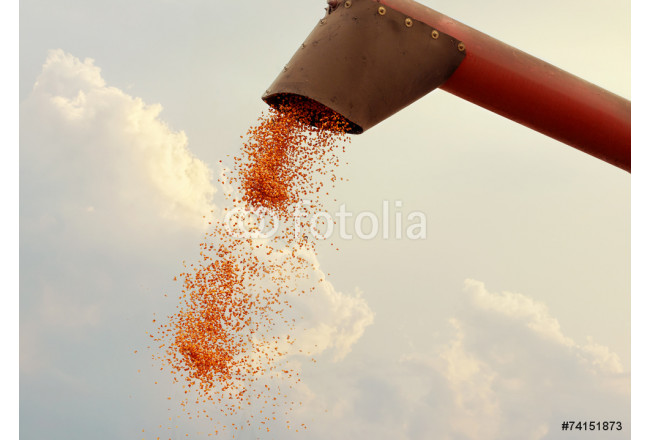 Maize grain falling from harvester 64239