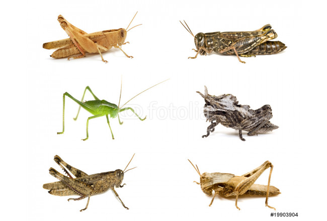 Grasshopper collection isolated on white 64239