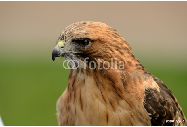 Art painting Red Tailed Hawk Close Up 64239