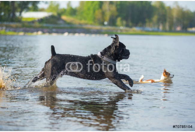 Cane Corso dog in nature 64239