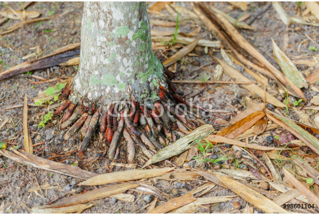 Stems and roots of betel palm 64239