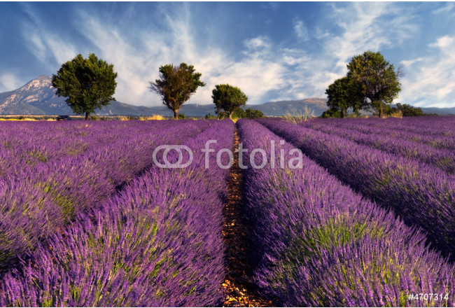 Lavender field in Provence, France 64239
