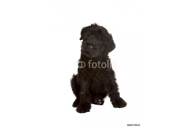 Little Black Russian Terrier Puppy on White Background 64239