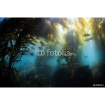 Shallow Kelp Forest 64239