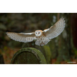 Barn owl with nice wings landing on headstone 64239