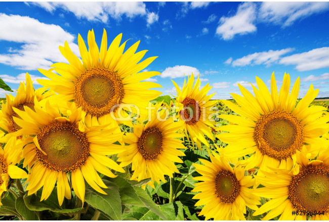 Quadro contemporaneo sunflower field and blue sky with clouds 64239