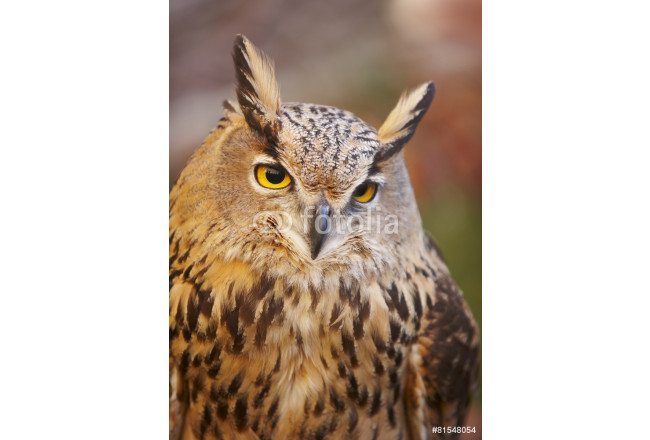 Owl with yellow eyes and warm background in Spain 64239