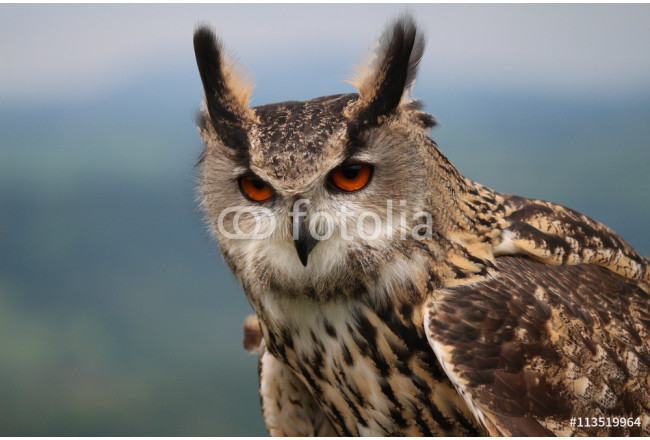 Bild auf Leinwand Eurasian Eagle Owl close up starring out to middle distance 64239