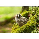 Young long-eared owl 64239