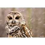 Barred Owl in the Snow 64239