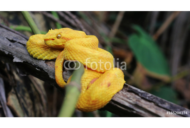 Beautiful snake in the jungle, Costa Rica. Tropical travel. Wanderlust. 64239