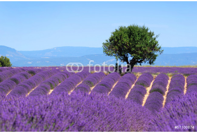 Lavender field. The plateau of Valensole in Provence 64239