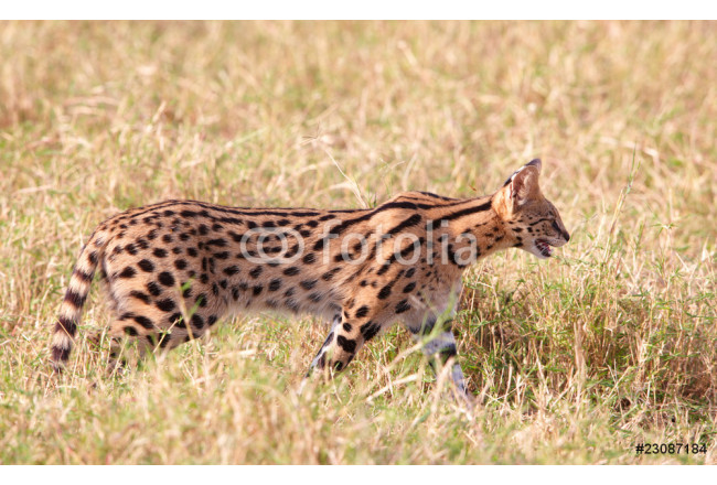 Obraz nowoczesny African Serval (Leptailurus serval) 64239