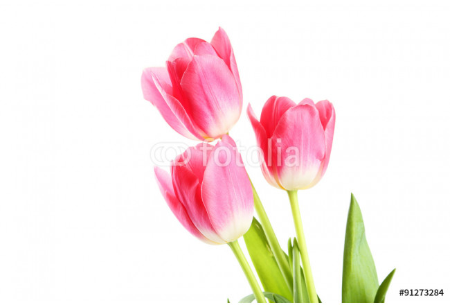 Pink tulips on white background 64239