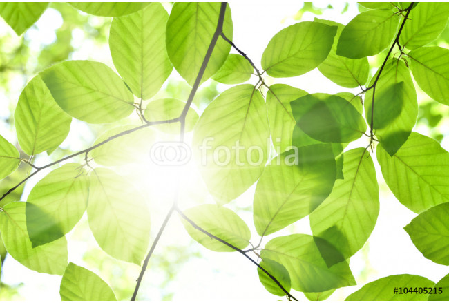 Bild auf Leinwand Beech leaves and sunbeam in a mixed forest. Spring scene with fresh leaves of a beech tree and bright sun. Focus on the foreground, selective focus of foliagé in a forest. 64239