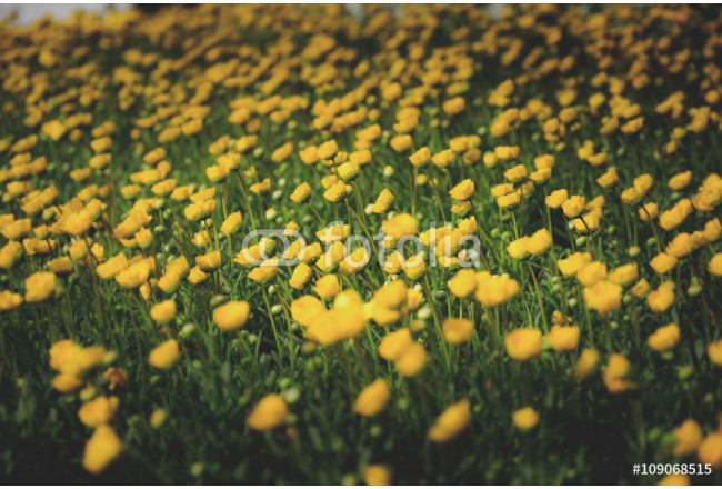 Obraz nowoczesny yellow flowers on green grass  Image filtered in faded, retro, Instagram style; nostalgic, vintage spring concept. Floral texture. 64239
