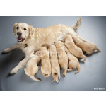 female dog of golden retriever with puppies 64239
