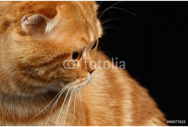 Closeup Ginger Scottish Fold Cat Looking back isolated on Black 64239
