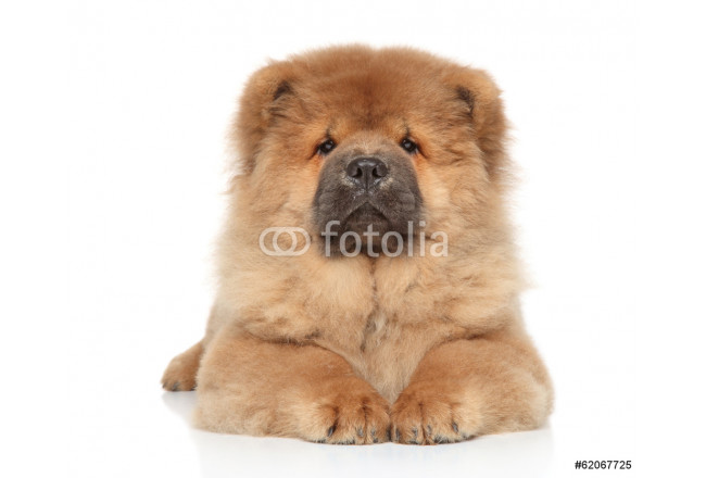 Chow-chow puppy on a white background 64239