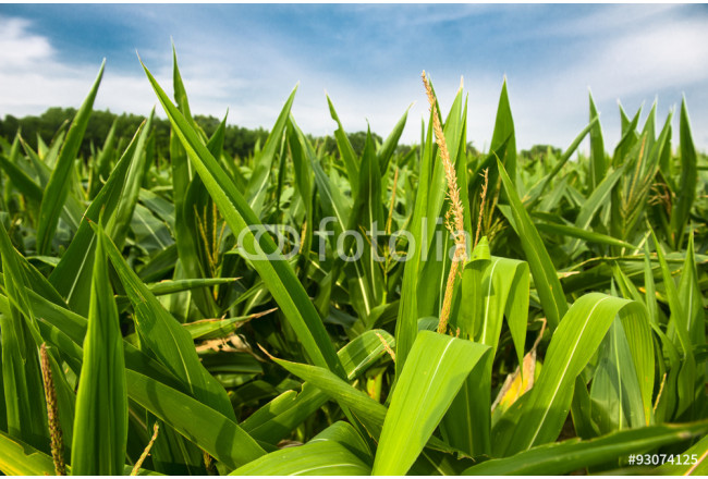 Green corn field growing up against blue sky 64239