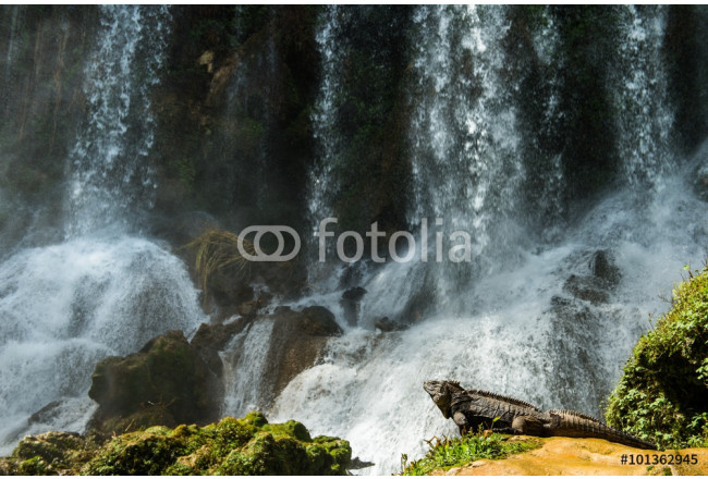 Quadro contemporaneo Iguana in the forest beside a water fall. Cuban rock iguana () 64239