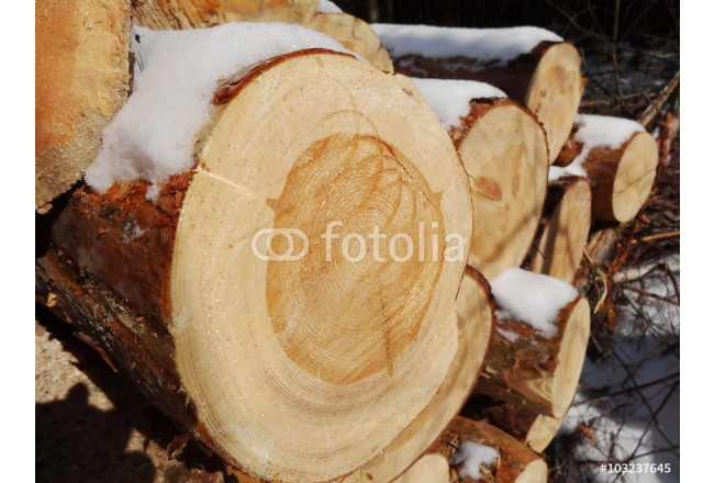 Close up of cut tree trunk, Wood preparation, pine 64239