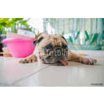 Close-up face of Cute pug puppy dog rest by chin and tongue lay down on floor and look to camera 64239