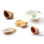 Shells with pearl and Rapana isolated on white 64239